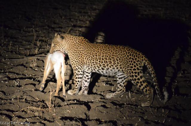 izzy leopard (3)