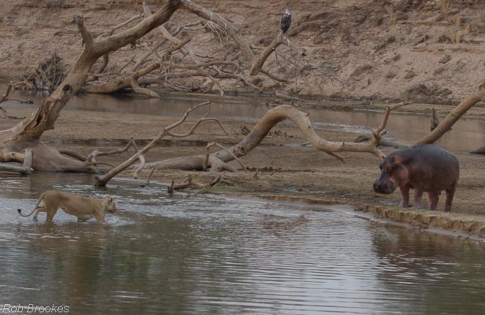 Hippo chasing Rob Brookes (1)