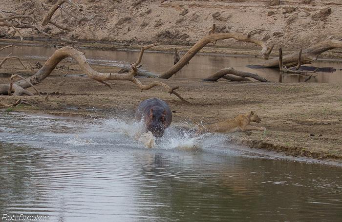 Hippo chasing Rob Brookes (2)