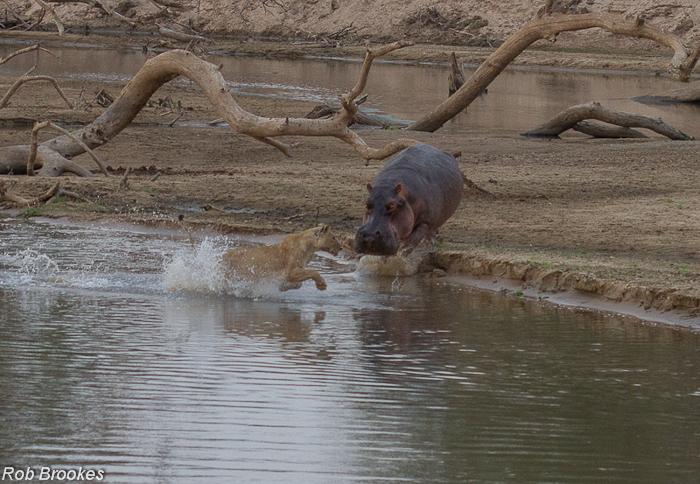 Hippo chasing Rob Brookes (3)