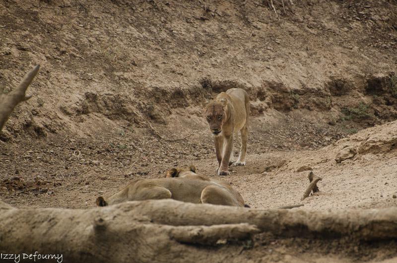 Last lions mwamba Izzy (1)