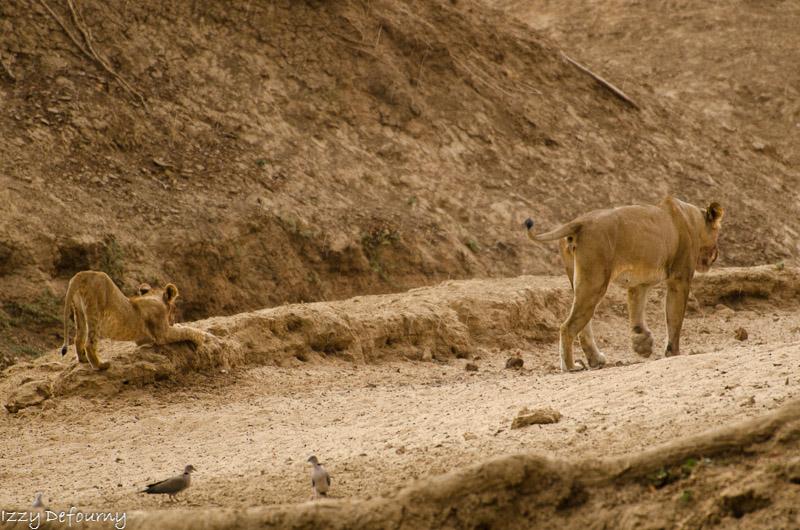 Last lions mwamba Izzy (5)