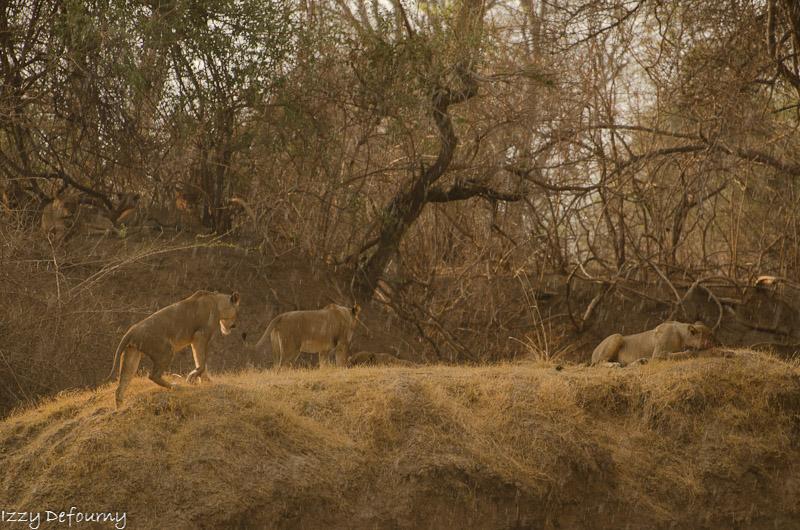 Last lions mwamba Izzy (8)
