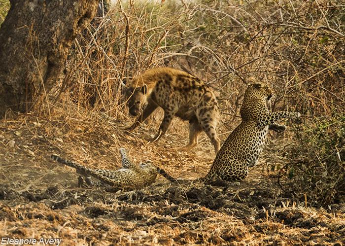 Leopard fight Eleanore Avery (1)