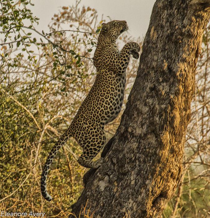 Leopard fight Eleanore Avery (2)