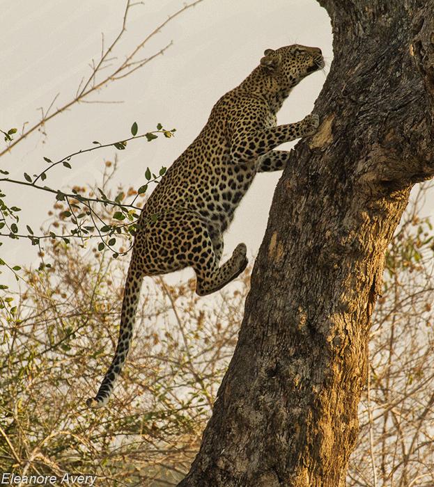 Leopard fight Eleanore Avery (3)