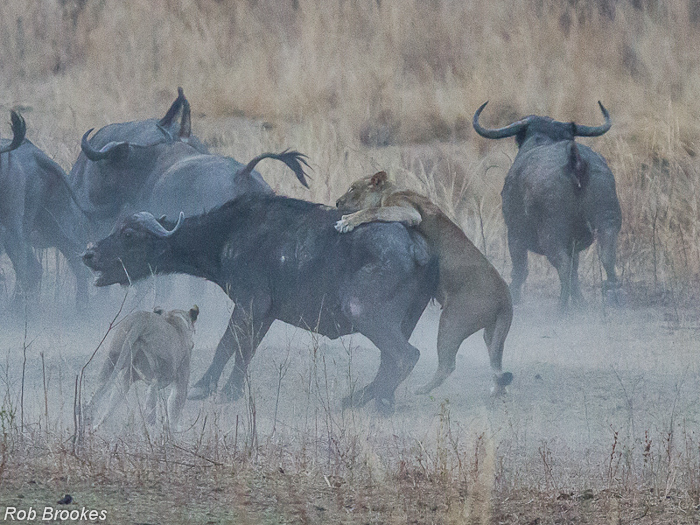 Lions on buffalo Rob Brookes (1)