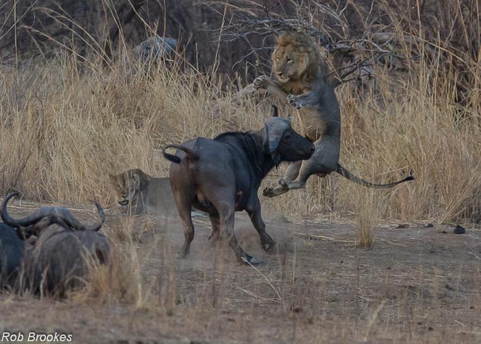 Lions on buffalo Rob Brookes (3)