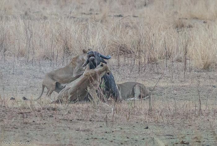 Lions on buffalo Rob Brookes (5)