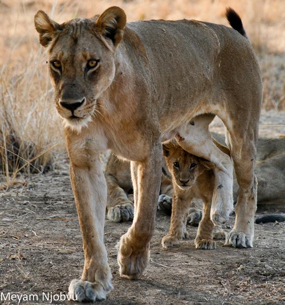 Meyam Lion and cub (1)