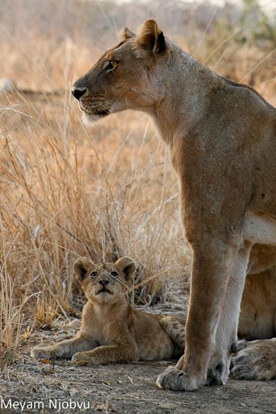 Meyam Lion and cub (2)