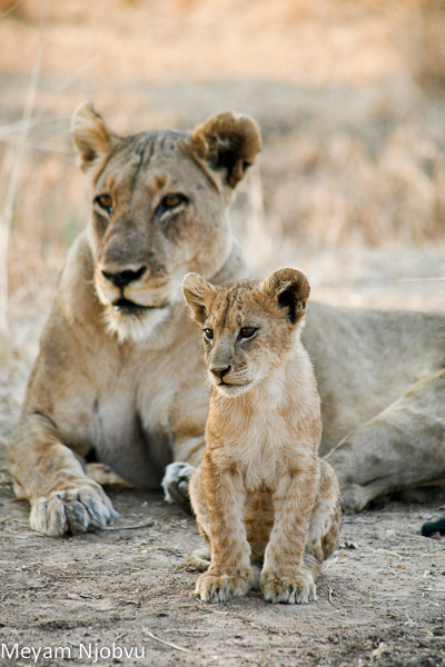 Meyam Lion and cub (3)
