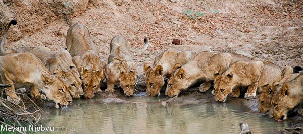 Meyam Lions Mwamba Hide (1)