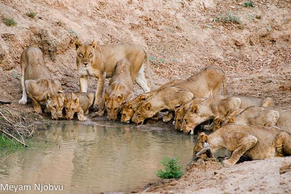 Meyam Lions Mwamba Hide (2)