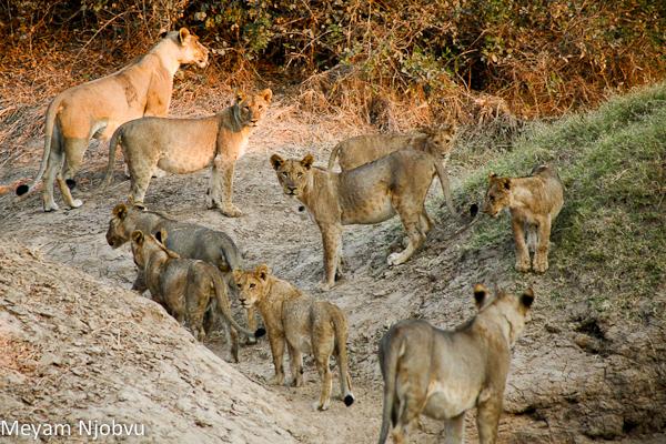 Meyam Lions Mwamba Hide (3)