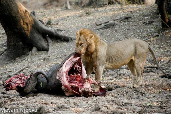 Meyam Male lion eating (1)