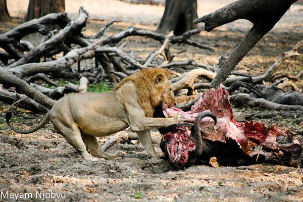 Meyam Male lion eating (3)