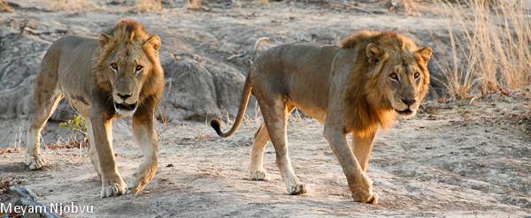 Meyam other lions (2)