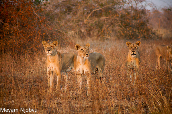 Meyam other lions (3)