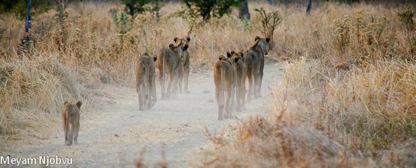 Meyam other lions (4)