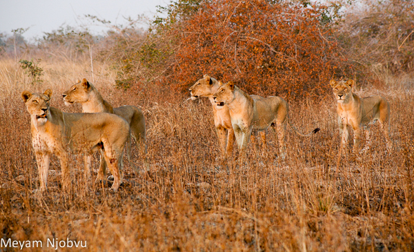 Meyam other lions (6)