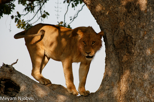 Meyam other lions (9)
