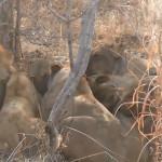 lion warthog