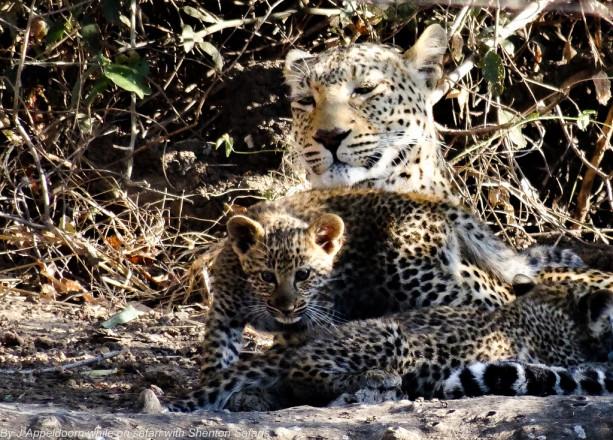 Jacques Appeldoorn Leopard Cubs (2)