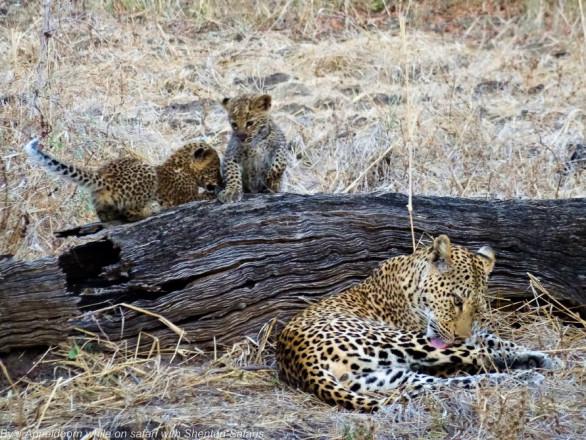 Jacques Appeldoorn Leopard Cubs (3)
