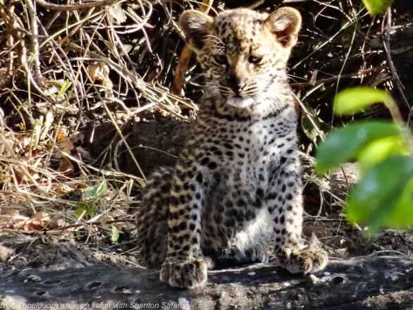 Jacques Appeldoorn Leopard Cubs (4)