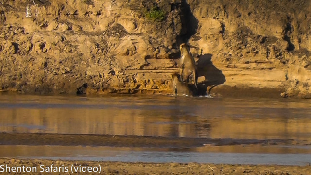 Lions crossing river (1)