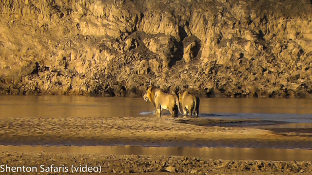 Lions crossing river (3)