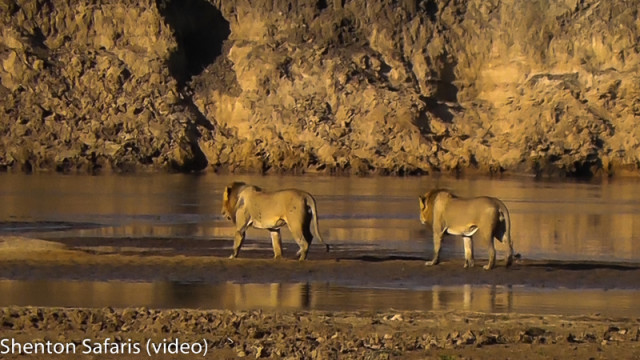 Lions crossing river (4)