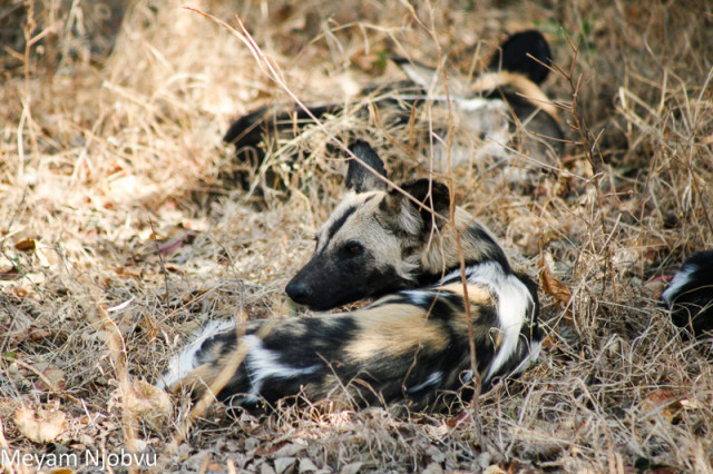 Meyam Njobvu Wilddogs (2)