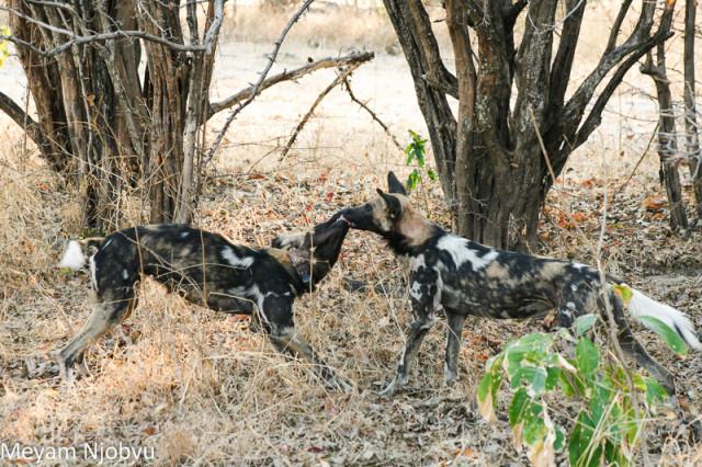 Meyam Njobvu Wilddogs (3)