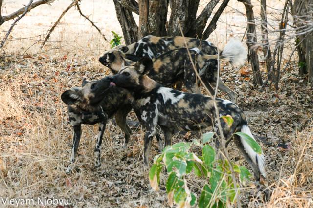 Meyam Njobvu Wilddogs (4)