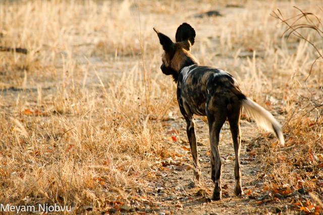 Meyam Njobvu Wilddogs (5)