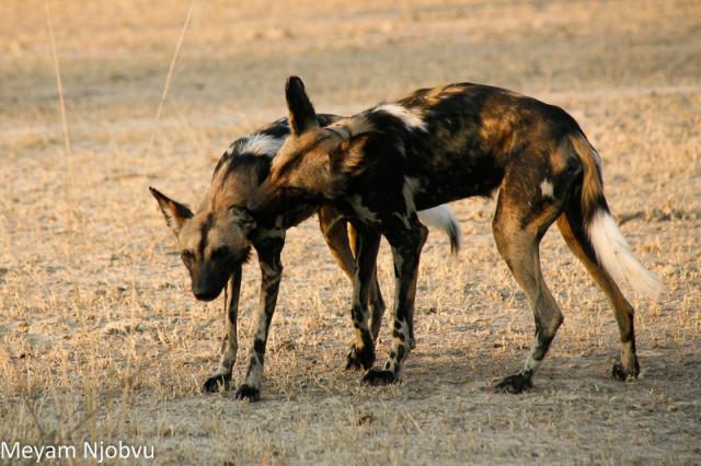 Meyam Njobvu Wilddogs (7)