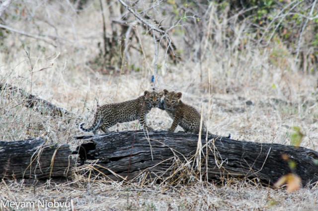 Meyam Njobvu leopard cubs
