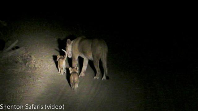 Mwamba Kaingo new cubs (1)