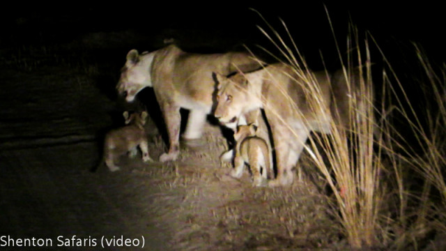 Mwamba Kaingo new cubs (2)