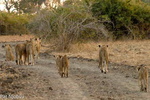 P Njobvu Hollywood cubs (2)