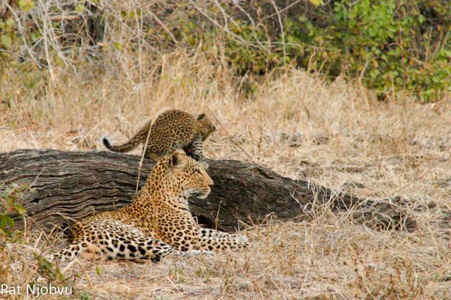 P Njobvu Leopard cubs (1)