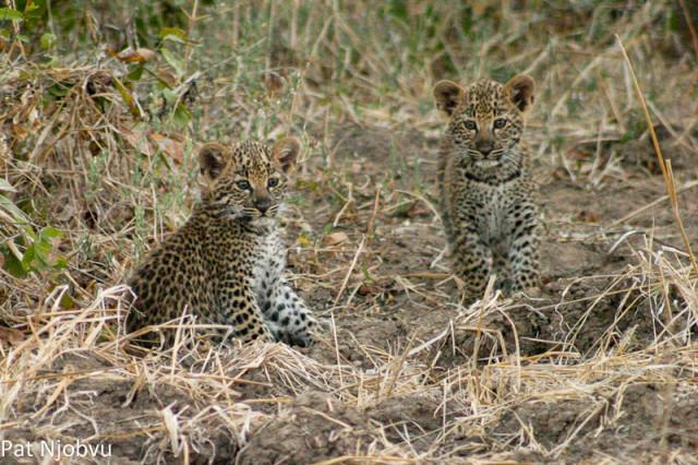 P Njobvu Leopard cubs (2)