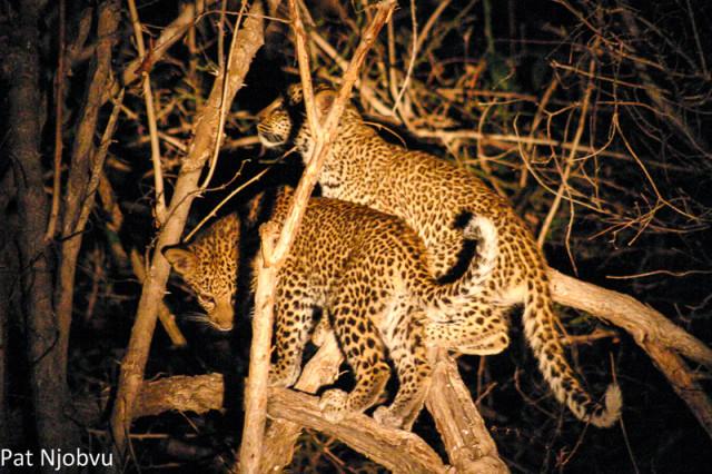 P Njobvu Leopard cubs (5)