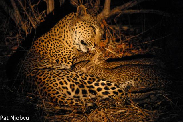 P Njobvu Leopard cubs (7)