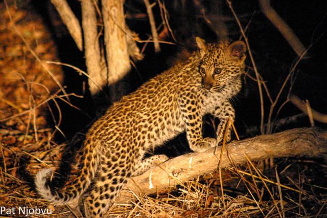 P Njobvu Leopard cubs (8)