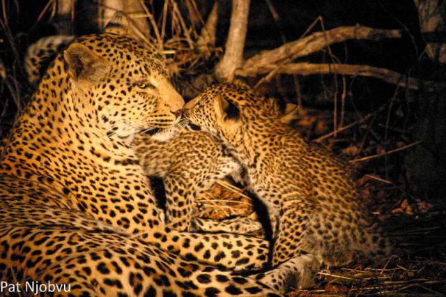 P Njobvu Leopard cubs (9)