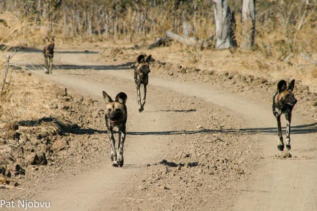 P Njobvu Wild Dogs (1)