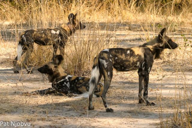 P Njobvu Wild Dogs (2)